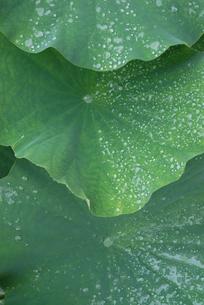 ハスの葉と雨粒の写真素材 [FYI00456734]
