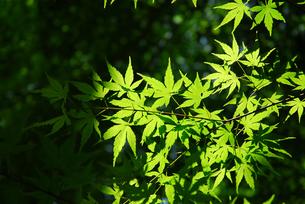 新緑のモミジと木漏れ日の写真素材 [FYI00456738]