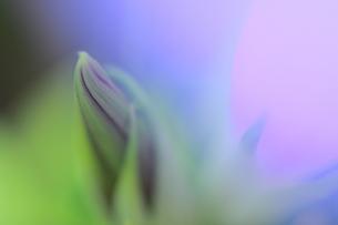 朝顔の蕾の写真素材 [FYI00456813]
