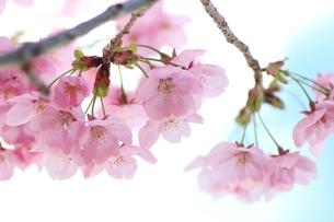 桜の素材 [FYI00456838]