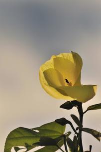 黄色の花の素材 [FYI00457116]