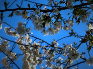 桜の写真素材 [FYI00457209]
