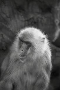 猿の憂欝の写真素材 [FYI00457379]