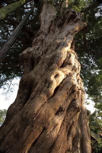 イヌマキの樹の写真素材 [FYI00457385]