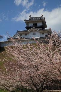 掛川城の桜の写真素材 [FYI00457413]