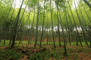 竹林の写真素材 [FYI00457416]