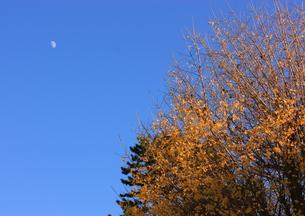 銀杏と月の写真素材 [FYI00457442]