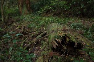 枯れ木の写真素材 [FYI00457473]