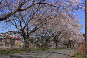 湯河原の桜の写真素材 [FYI00457486]