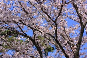 桜の写真素材 [FYI00457488]