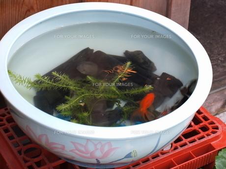 金魚鉢の写真素材 [FYI00457505]