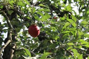 リンゴの写真素材 [FYI00457616]