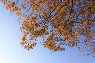 紅葉と秋空の写真素材 [FYI00457619]