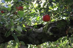 リンゴの写真素材 [FYI00457622]