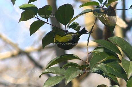 葉裏のクモを食べるメジロの写真素材 [FYI00457847]