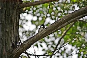 木の上のシジュウカラの写真素材 [FYI00457890]