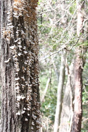 立ち枯れの木にキノコの素材 [FYI00457891]