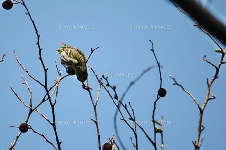木の実を食す小鳥の写真素材 [FYI00457904]