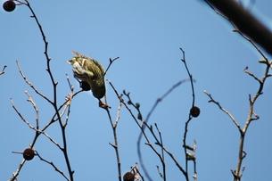 木の実を食す小鳥の素材 [FYI00457904]