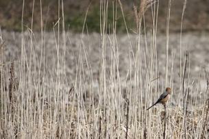 枯れススキと小鳥のいる風景の素材 [FYI00457913]