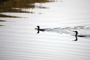 泳ぐ川鵜の写真素材 [FYI00457965]