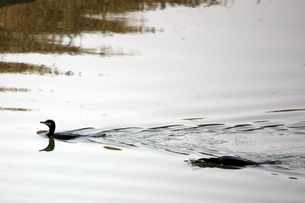 泳ぐ川鵜の写真素材 [FYI00457967]