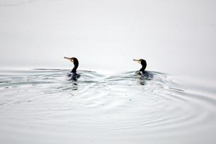 並んで泳ぐ鵜の写真素材 [FYI00457971]