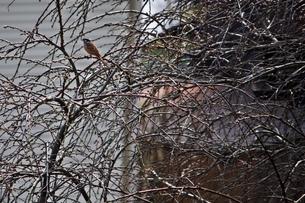 木の枝に止まるホオジロの写真素材 [FYI00457998]