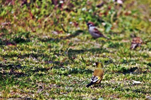 地上の小鳥の素材 [FYI00458005]