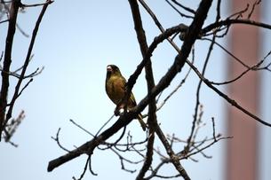 枝の上の小鳥の素材 [FYI00458009]