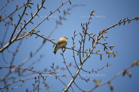 枝の小鳥の素材 [FYI00458018]