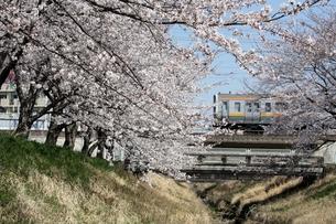 桜並木と電車の素材 [FYI00458021]