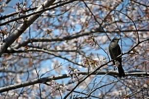 桜の花とヒヨドリの写真素材 [FYI00458031]