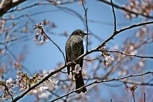 桜の花とヒヨドリの写真素材 [FYI00458032]