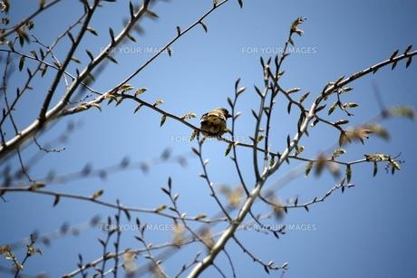 枝の小鳥の素材 [FYI00458033]