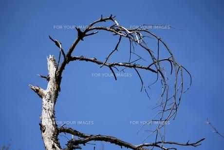 立ち枯れの木の素材 [FYI00458035]