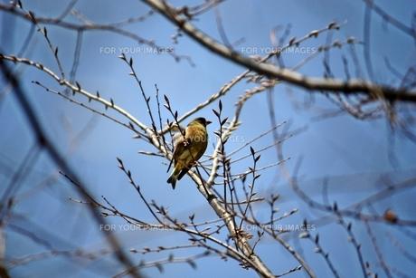 枝の小鳥の素材 [FYI00458036]