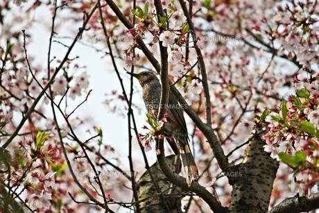 葉桜と小鳥の素材 [FYI00458063]