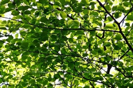 広葉樹の葉の素材 [FYI00458144]