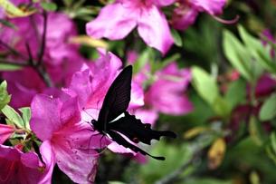 ツツジの花とクロアゲハチョウの写真素材 [FYI00458191]