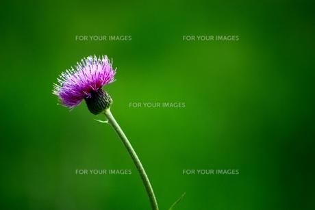 アザミの花の写真素材 [FYI00458204]