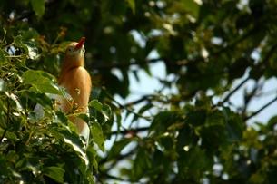 樹上のアマサギの写真素材 [FYI00458254]