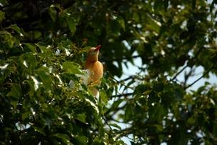 樹上のアマサギの写真素材 [FYI00458272]