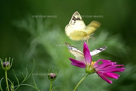 花と2匹の蝶の素材 [FYI00458409]