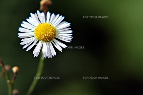 一輪の可憐な花の素材 [FYI00458415]
