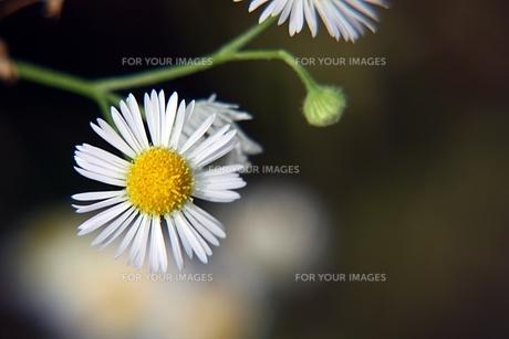ヒメジオンの花の素材 [FYI00458426]
