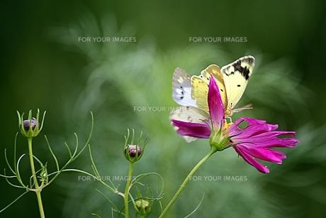 花と2匹の蝶の素材 [FYI00458433]