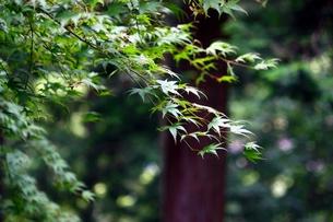 陽に映える楓の葉の素材 [FYI00458480]
