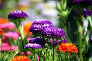 ムラサキの花の素材 [FYI00458486]