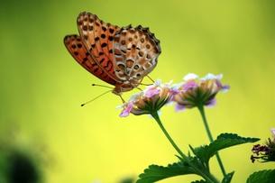 花の蜜を吸う蝶の素材 [FYI00458508]